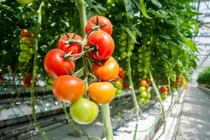 Gewächshauspflanzen Tomaten und Co.